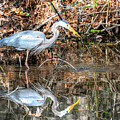 A Great Blue In The Mirror by Don Mercer