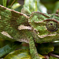 A Green Chamaeleonidae by Focus  Fotos