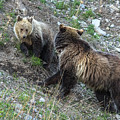 A Grizzly Moment by Yeates Photography