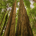 A Group Giant Redwood Trees In Muir Woods,california. Reaching F by Rusty R Smith