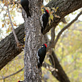 A Group Of Acorn Woodpeckers In A Tree by Derrick Neill