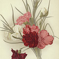 A Group Of Clove Carnations by English School