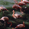 A Group Of Flamingos At The Folsom by Joel Sartore