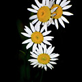 A Group Of Wild Daisies by Chris Flees
