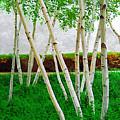 A Grove Of Birches 1 by Tom Reynen