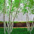 A Grove Of Birches 2 by Tom Reynen