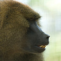 A Guinea Baboon At The Lincoln by Joel Sartore