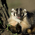 A Hand-raised Badger At The Home by Joel Sartore