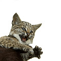 A Hand-raised Bobcat Reacts As Its Held by Joel Sartore
