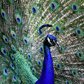 A Handsome Peacock by Sabrina L Ryan