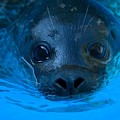 A Harbor Seal At The Lincoln Childrens by Joel Sartore