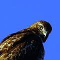 A Hawk Looking Back  by Jeff Swan