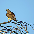 A Hawks Eye View by Brook Burling
