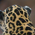 A Jaguar At Omahas Henry Doorly Zoo by Joel Sartore