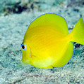 A Juvenile Blue Tang Searching by Terry Moore