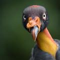 A King Vulture Sarcoramphus Papa by Joel Sartore