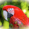 A large red parrot Winged Macaws with a white beak and green feathers
