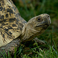 A Leopard Tortoise At The Lincoln by Joel Sartore