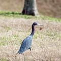 A Little Blue Heron by Robert Loe