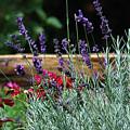 A Little Lavender by Lori Tambakis