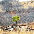 A Lonely Pine Tree by Jo-Ann Matthews