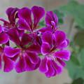 A Magenta Flower by Susan Heller