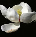 A Magnolia Flower by Sabrina L Ryan