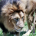 A Male Lion, Panthera Leo, King Of Beasts by Derrick Neill
