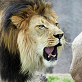 A Male Lion, Panthera Leo, Roaring Loudly by Derrick Neill