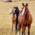 A Mare And Two Friends by Sam Sherman