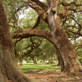 A Maze Of Oak Trees  by Timothy Wyer