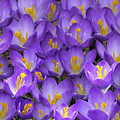 A Medley Of Crocuses by Jim Dollar