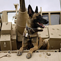 A Military Working Dog Sits On A U.s by Stocktrek Images