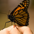 A Monarch Butterfly At The Butterfly by Joel Sartore
