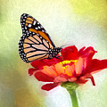 A Monarch Moment by Sharon McConnell