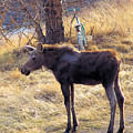 A Moose In Early Spring  by Jeff Swan