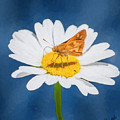 A Moth Collects Pollen On A Single Daisy Blossom. by Rusty R Smith