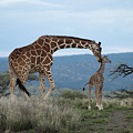 A Mother Giraffe Nuzzles Her Baby by Pete Mcbride