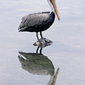 A Noble Bird Is The Pelican by Carl Purcell