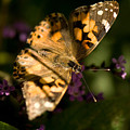 A Painted Lady Butterfly At The Lincoln by Joel Sartore