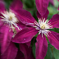 A Pair Of Clematis Flowers by Sandy Belk