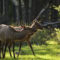 A Pair Of Cow Elk  by Rafael Marrero Reiley
