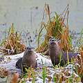 A Pair Of North American River Otters by Sharon Talson