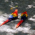 A Pair Of Parrots by Elise Samuelson