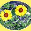A Pair Of Wild Susans by Will Borden