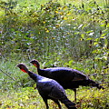 A Pair Of Wild Turkeys by Carla Parris