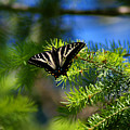 A Pale Swallowtail by Ben Upham III
