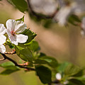A Panoramic View Of A Cherry Tree by Taylor S. Kennedy