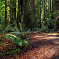 A Path In The Redwoods by James Eddy
