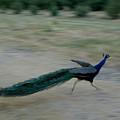 A Peacock On A Hog Farm In Kansas by Joel Sartore
